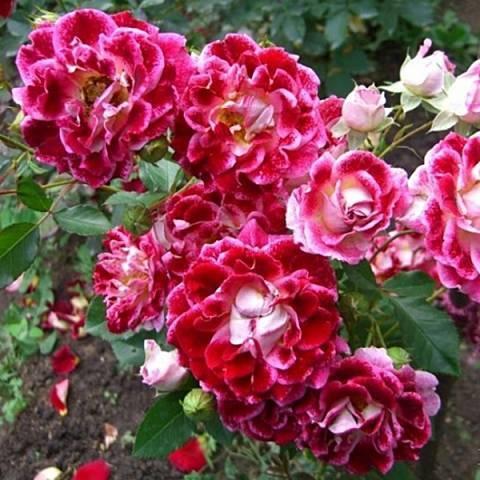 Роза Сахара (Sahara) — характеристики суперустойчивого кустарника