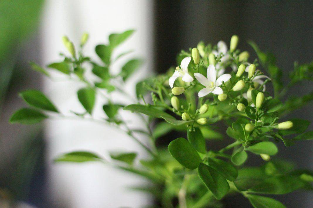 Мурайя — уход в домашних условиях за деревом японских императоров