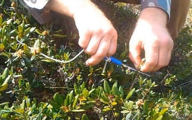Рододендрон франческа(rhododendron hybrid francesca): определение этого гибридного вида, его отличие от остальных цветов и пошаговая инструкция по уходу