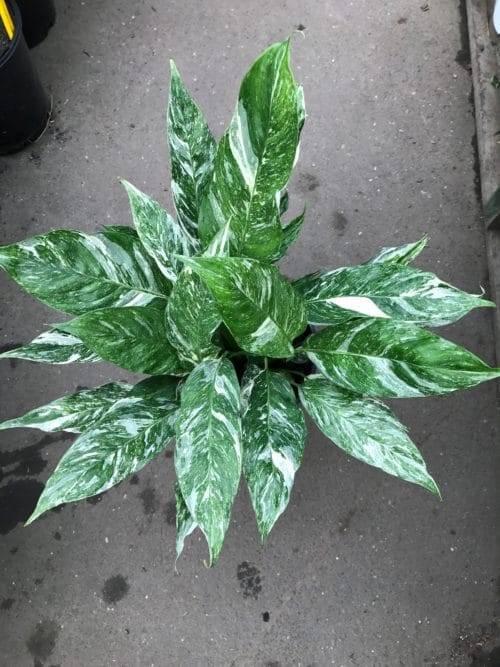 Цветок спатифиллум домино — уход в домашних условиях