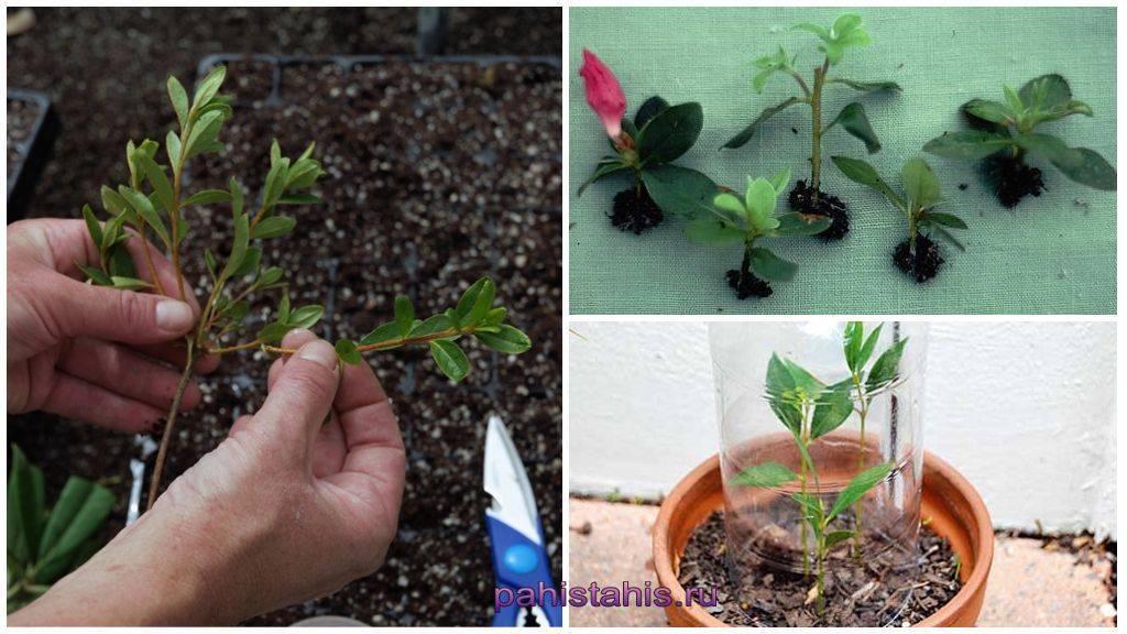 Размножение азалии черенками в домашних условиях: как укоренить и вырастить рододендрон, также вечнозеленый сорт, будет ли результат, если посадили три месяца назад?