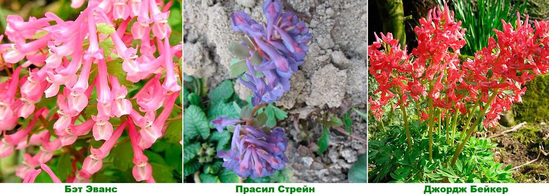 Как вырастить цветок хохлатку - посадка, размножение и уход