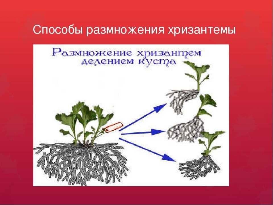 Комнатный очиток: посадка седума в открытом грунте и дома, уход и размножение