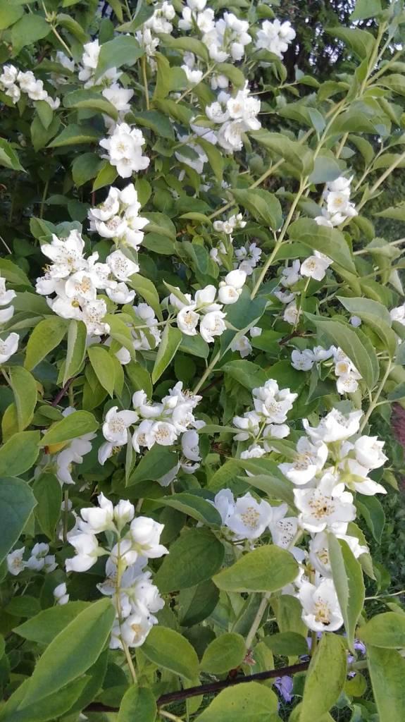 Жасмин — история и лечебные свойства цветка. советы по посадке и уходу за жасмином в комнатных условиях и в саду. лучшие фото и видео-обзоры