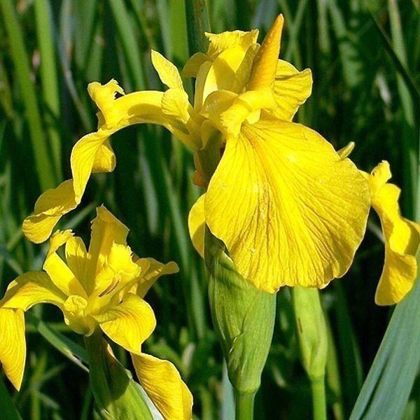 Цветы ирисы: описание разновидностей, как выглядит и какие бывают