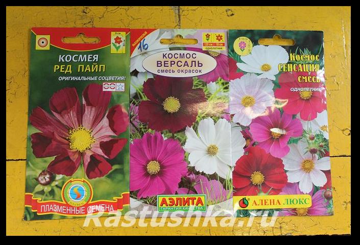 Цветок космея махровая. описание и фото