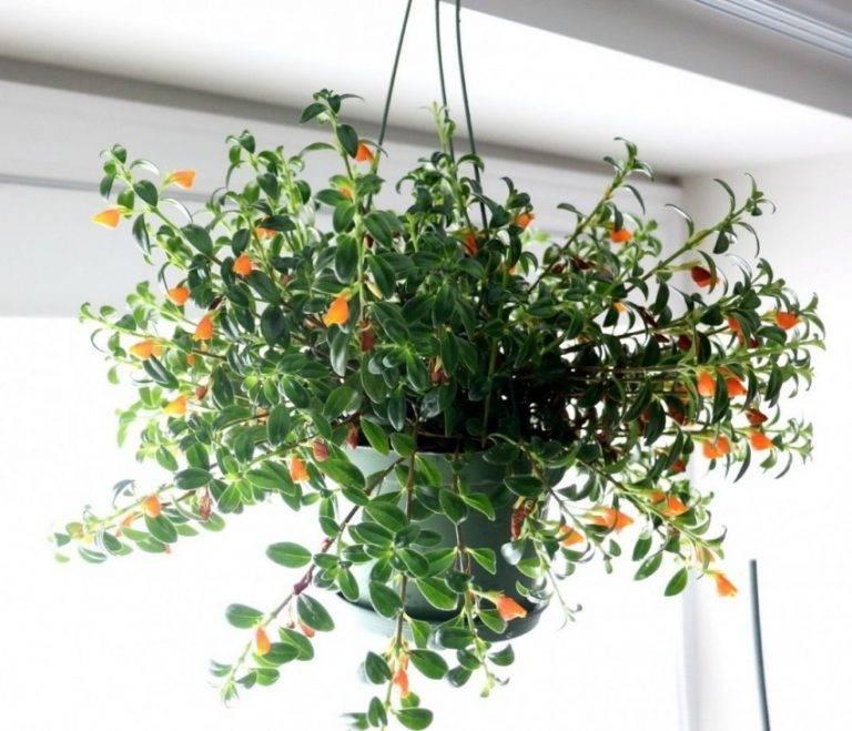 Гипоцирта голая: описание комнатного растения, особенности посадки семенами и черенками, уход