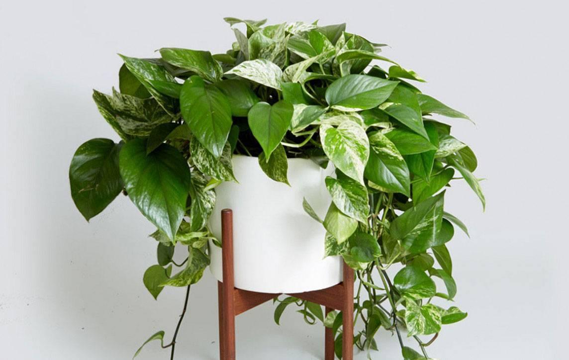 Эпипремнум или сциндапсус (scindapsus). уход, обрезка растения и размножение.