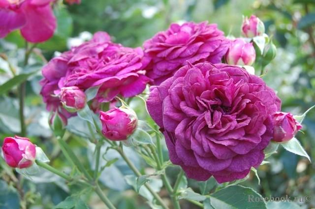О штамбовой розе: описание и характеристики сортов древовидной розы