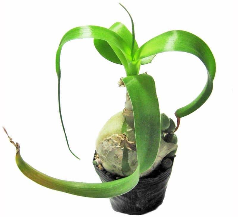 Индийский лук или птицемлечник хвостатый - целебное комнатное растение