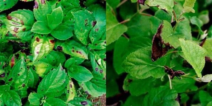 Хлороз гортензии метельчатой или крупнолистной — чем лечить листья