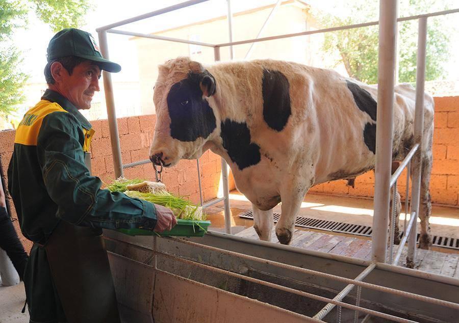 Технология возделывания люпина кормового для кур, для коров в качестве сена