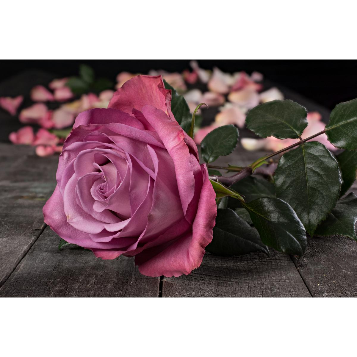 О розе blue moon: описание и характеристики сорта чайно гибридной розы