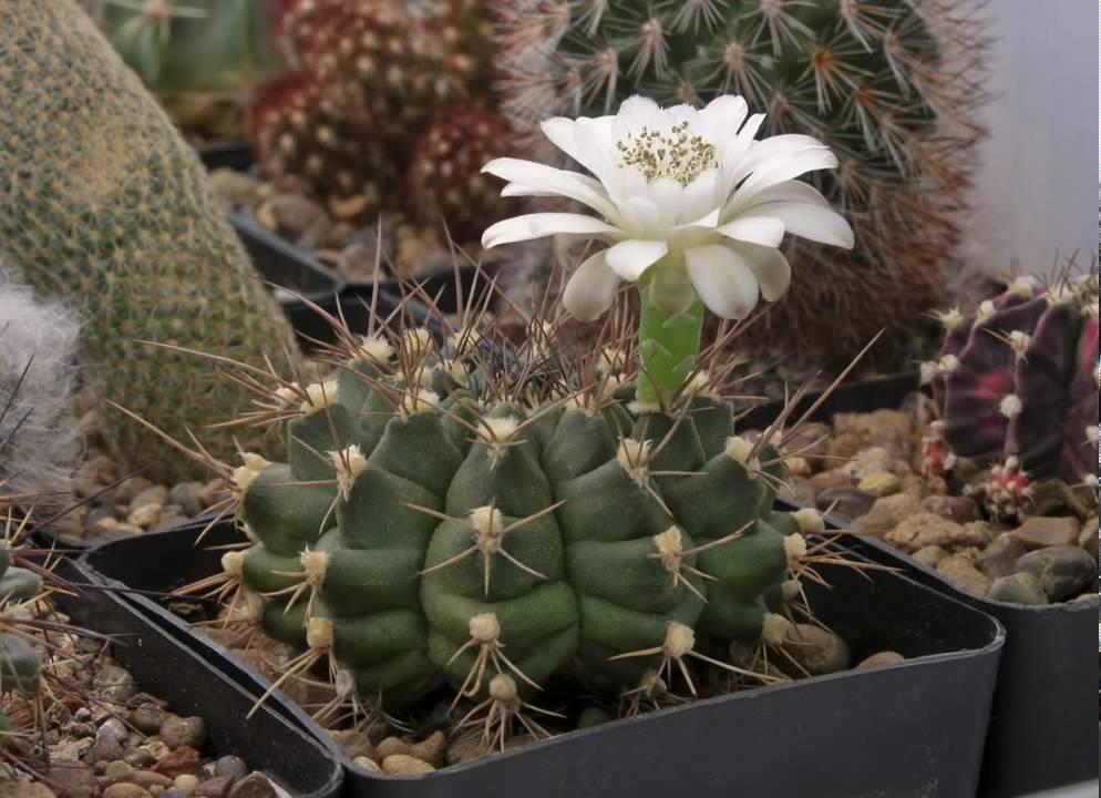 Примеры цветения и размножения гимнокалициума, варианты ухода за кактусом