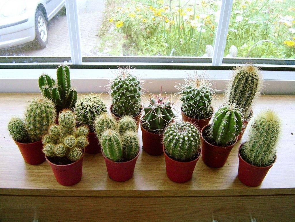 Виды кактусов для домашнего выращивания;правила ухода; подготовка к цветению в комнатных условиях