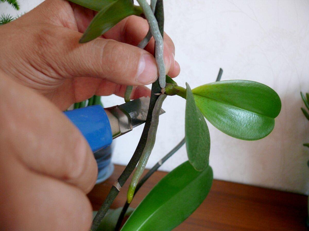 Размножение орхидей черенками (9 фото): как размножить орхидею черенкованием в домашних условиях в бутылке?