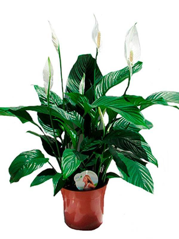 Спатифиллум уоллиса: характеристика и фото цветка, а также пошаговая инструкция по уходу за растением в домашних условиях
