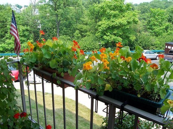 Настурция – незаменимое растение в саду с лианами