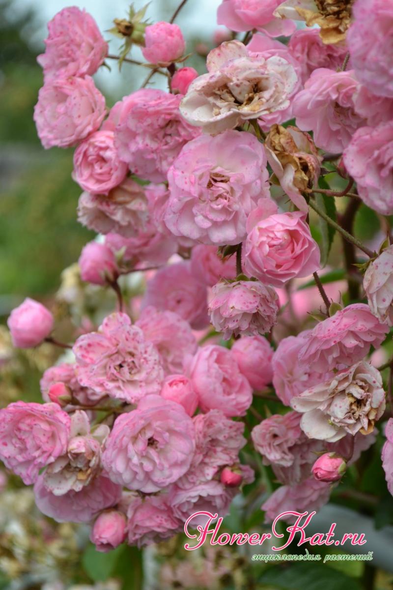 Розы ред интуишн и пинк интуишн: крупноцветковые сорта с экстравагантным окрасом