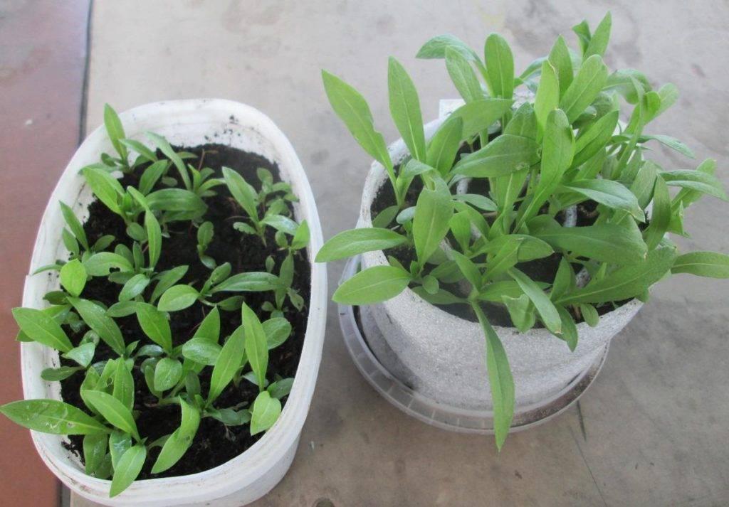 Как вырастить флоксы из семян? 20 фото как выращивать рассаду в домашних условиях? как сажать в открытый грунт? как собрать семена?