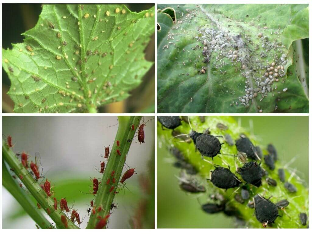 Цветочные трипсы на комнатных растениях: фото паразита, как с ним бороться и не допустить размножения вредителей