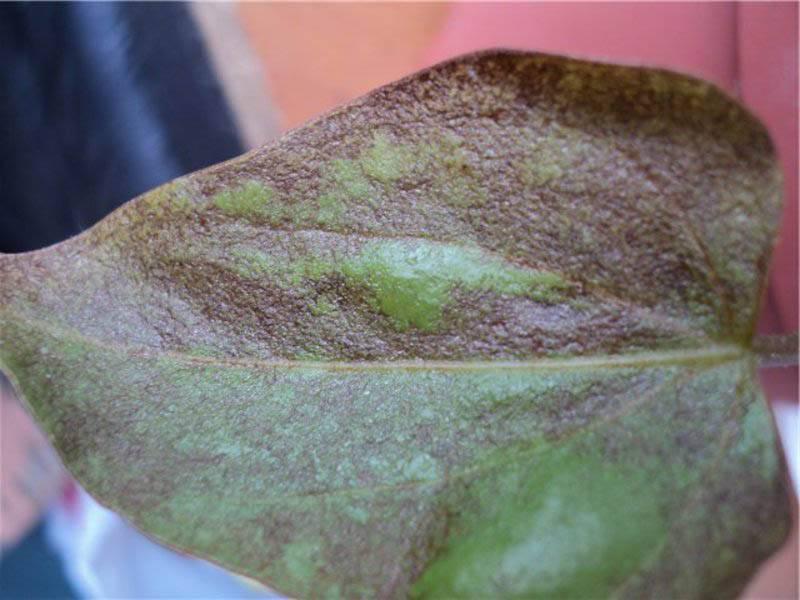 Почему у фиалки желтеют листья?