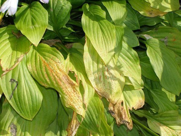 Хосты: посадка и уход в открытом грунте, выращивание из семян