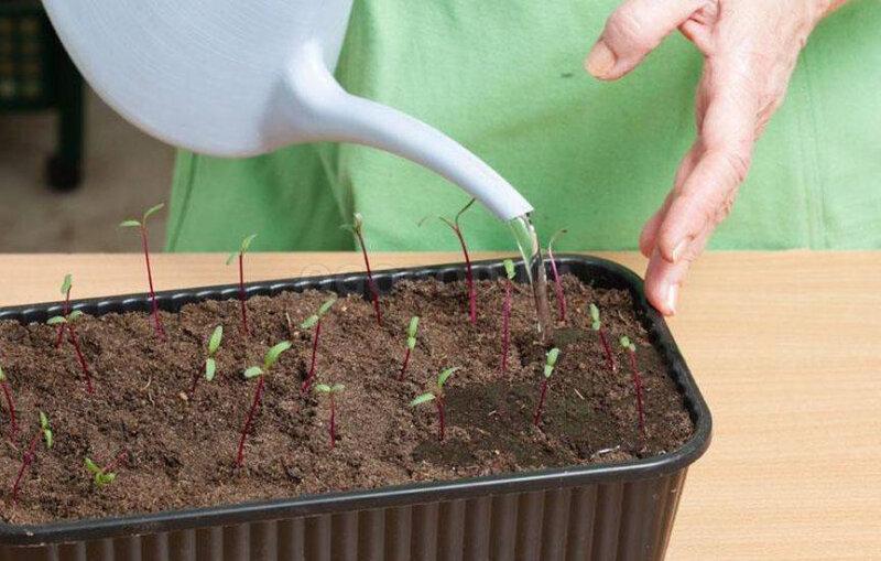 Как вырастить розмарин из семян в домашних условиях