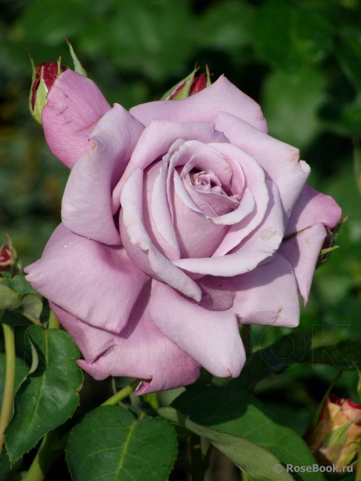 9 лучших сортов чайно-гибридных роз – названия, фото, описание