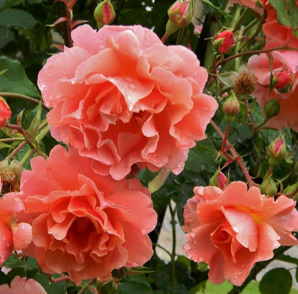 сорта роз с фото и названиями плетистые ковровском районе преимущественно
