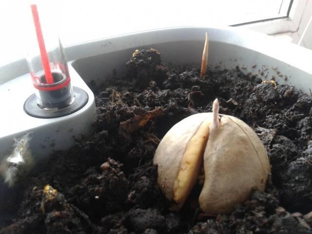 Как прорастить авокадо из косточки, как правильно выращивать в домашних условиях и производить посадку: пошаговые инструкции, фото