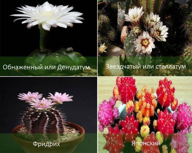 Особенности ухода за домашними любимцами — кактусами