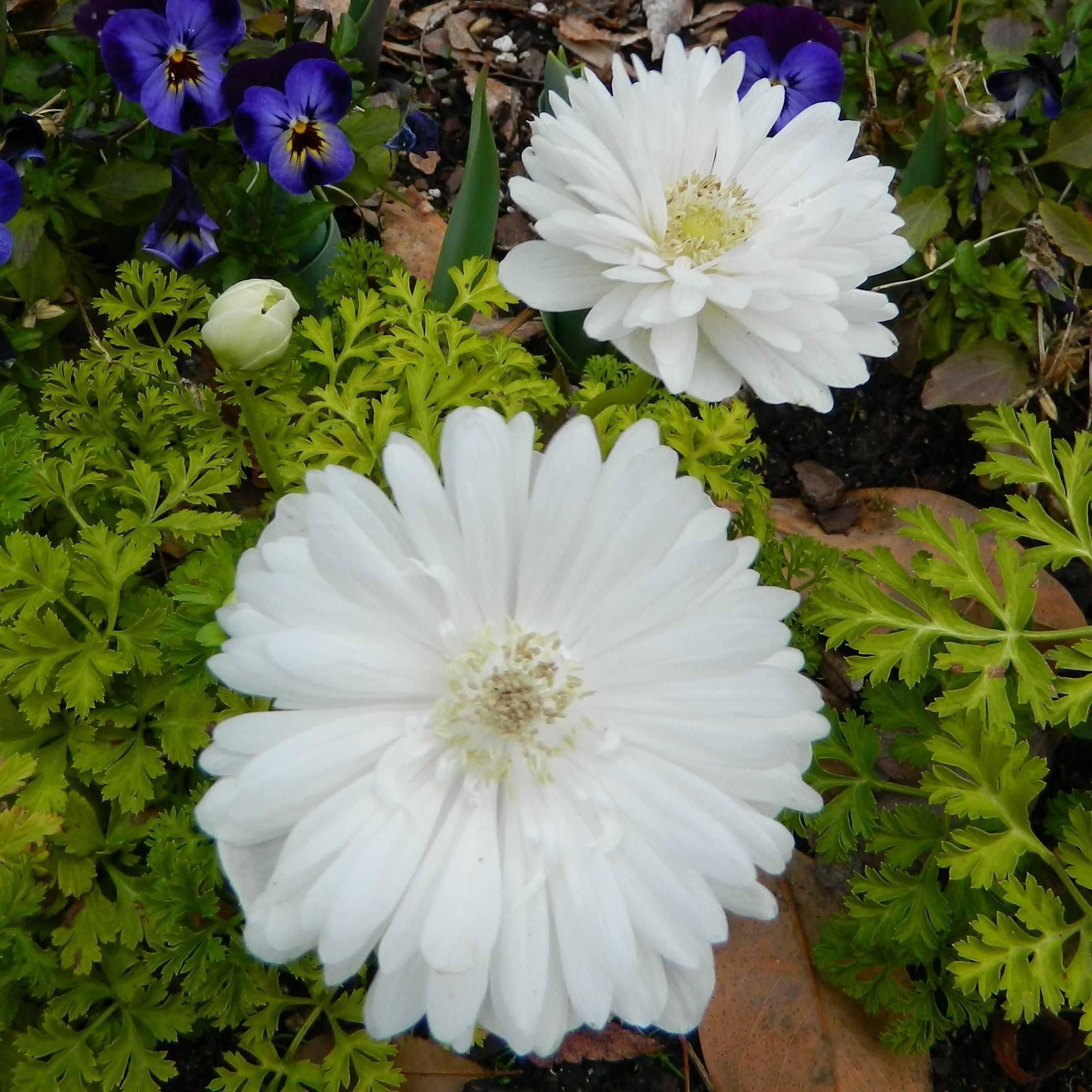 Цветок анемона: виды и сорта, посадка и уход