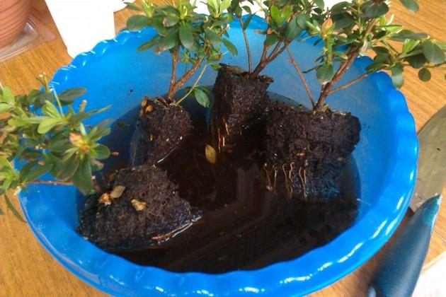 Уход за азалией в домашних условиях после покупки в магазине: как дальше ухаживать и сохранить комнатный рододендрон в горшке, что делать, если листья опали, вянут?