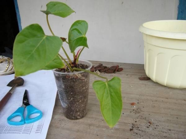 Антуриум: размножение в домашних условиях листом, из семян