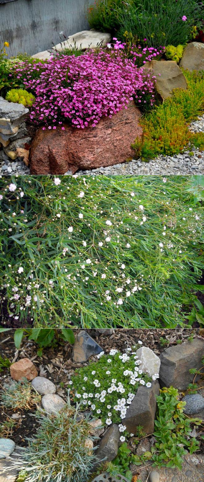 Гипсофила многолетняя и однолетняя посадка и уход выращивание из семян на рассаду