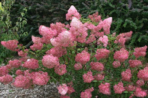 Гортензия розовая метельчатая крупнолистная: посадка и уход в открытом грунте