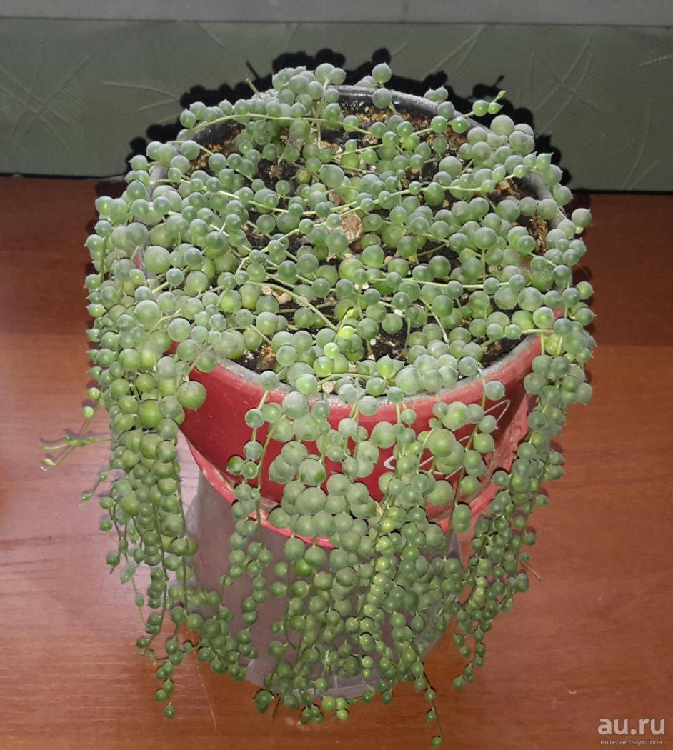 Уход за ползучим цветком крестовником крупноязычковым в домашних условиях