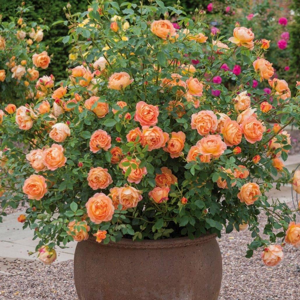 Роза ангажемент: описание, характеристика и фото сорта, цветение и использование в ландшафтном дизайне, уход и размножение, болезни и вредители