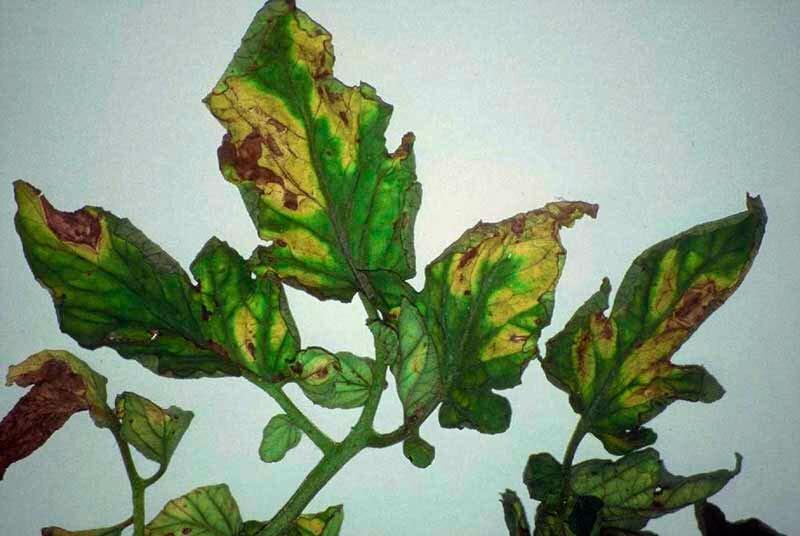 Мальва мускусная (33 фото): описание многолетнего белого цветка, посадка и уход в открытом грунте