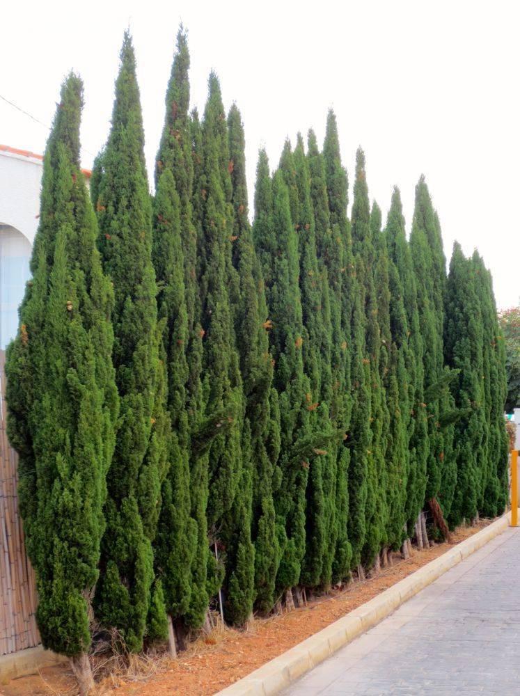 Кипарис: фото как выглядит, описание цветка, что это такое, хвойное или лиственное дерево