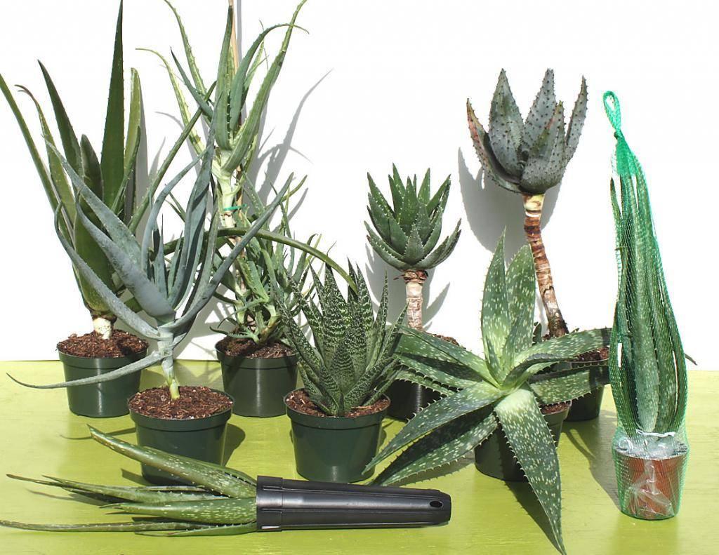 Алоэ — 11 популярных видов для выращивания дома