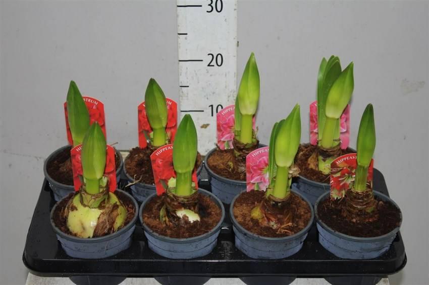 Цветок гиппеаструм: невероятная красота у вас дома
