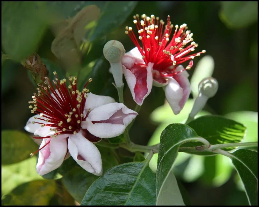 Фейхоа: описание растения и его выращивание