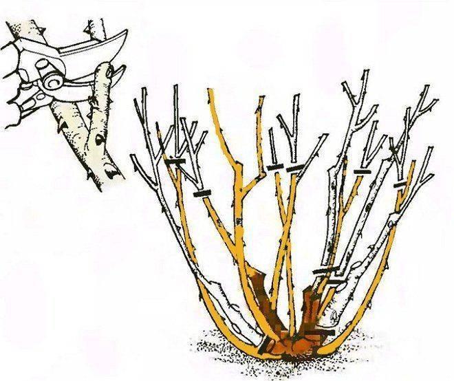 Спиреи: размножение черенками, обрезка летом после цветения, правильная посадка