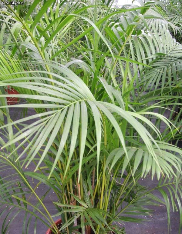 Пальма арека: уход в домашних условиях, фото, размножение и виды, почему сохнет