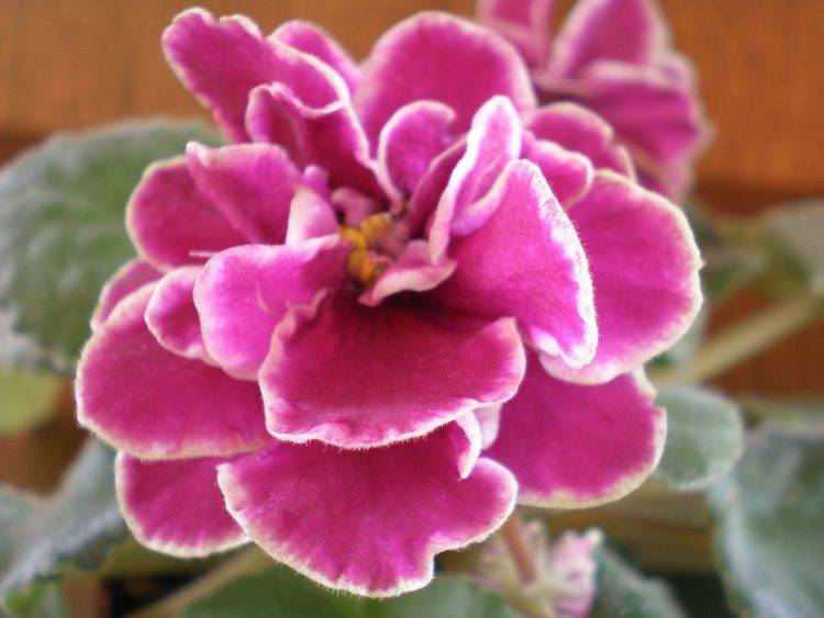 Розовые фиалки: особенности и разновидности