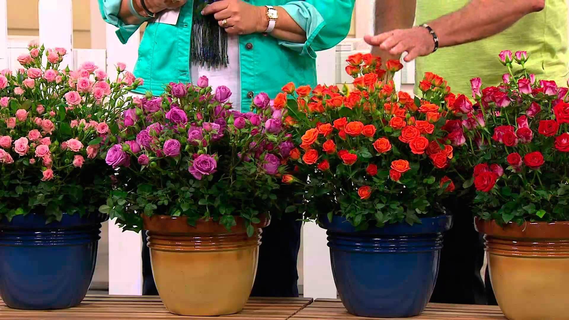 Домашние розы в горшках: особенности ухода