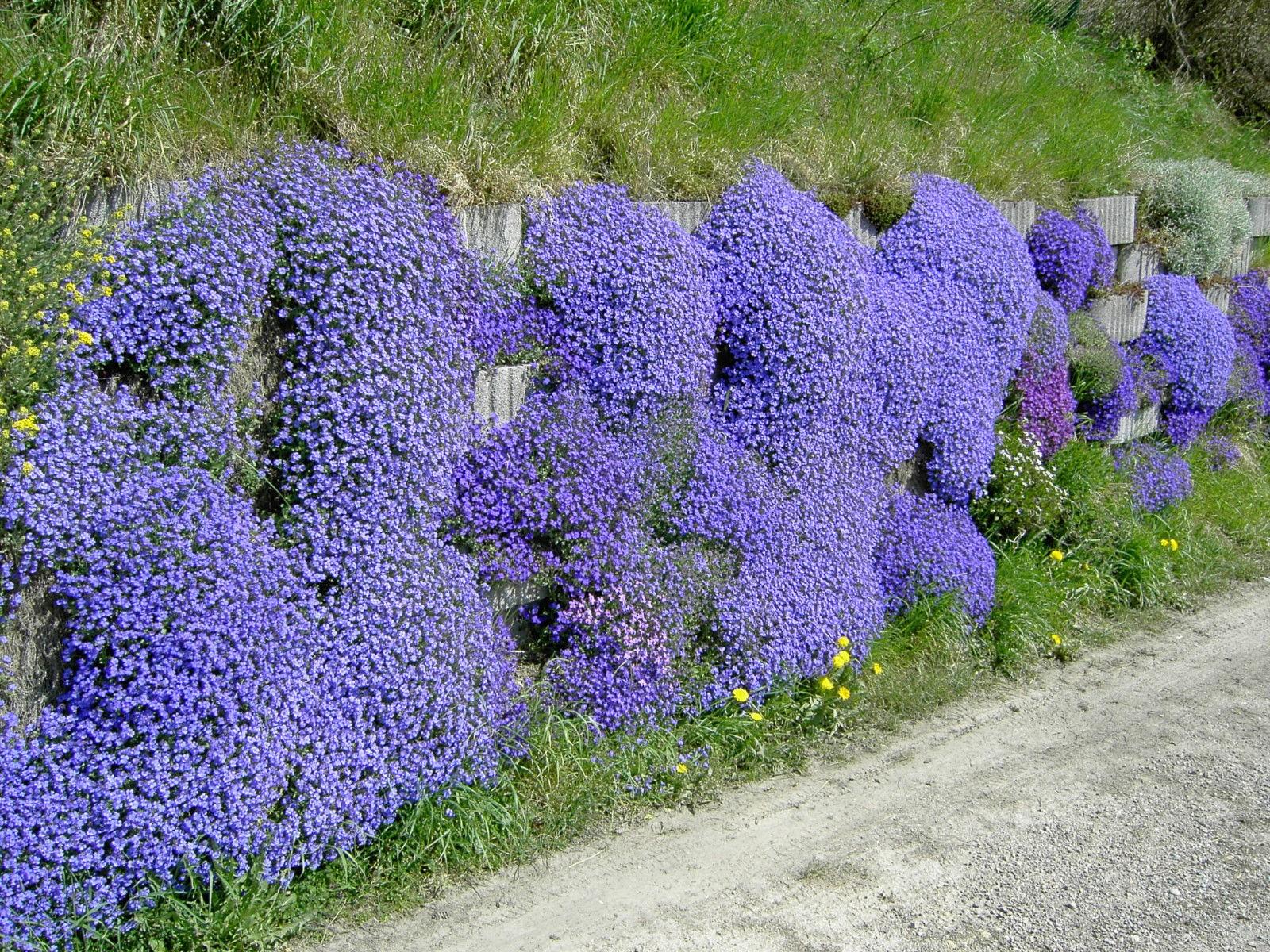 Особенности посадки и выращивания садового цветка незабудка