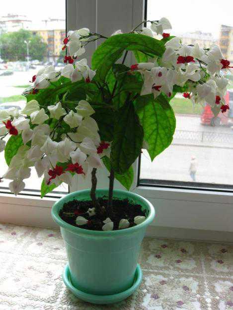 Клеродендрум: выращивание в домашних условиях